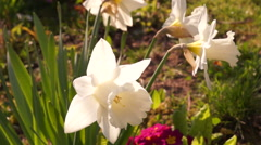 White Daffodils Or Narcissus in Sun Stock Footage