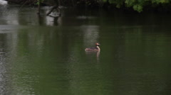 Grebe Stock Footage