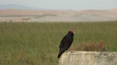 Vulture Perched on Ledge in Grasslands, South America, Medium Close Up Shot Stock Footage