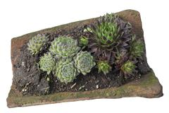 Sempervivum tectorum in a old clay roofing tile - stock photo