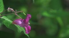 Bee_on_flower_slomo Stock Footage