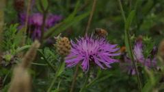 Bee_on_flower Stock Footage