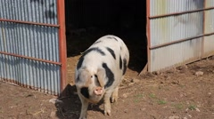 Spotted sow female pig Pietrain breed inquisitive and question Stock Footage