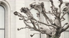 A cool old tree on Temple Square in Utah Stock Footage