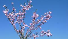 Pink flowers in the wind Stock Footage