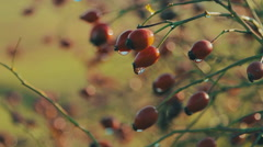 Rose Hips Stock Footage
