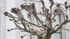 An cool old tree on Temple Square in Utah Stock Footage