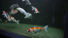 Nishikigoi, Koi fish, ornamental Japanese carp, decorative, aquarium Stock Footage