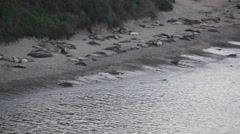 Elephant seals frolic and rest on the beach during low tide - stock footage