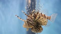 Red lionfish in aquarium, venomous coral reef fish, exotic fish Stock Footage
