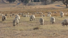 Sheep Farming Agriculture Rural Landscape Australia Stock Footage