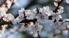 Flowering apricot Stock Footage