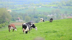 Herd of cows grazing on green pasture grass meadow in France Stock Footage