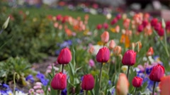 Beautiful tulip gardens in the spring Stock Footage
