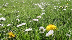 Beautiful Spring Flowers, White Daisy And Dandelion On Green Field, Dolly Shot Stock Footage