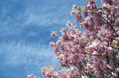 Pink magnolia trees over blue sky Stock Photos