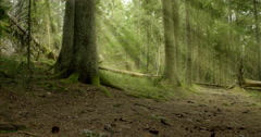 God rays in old-growth pine forest Stock Footage
