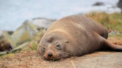 Tired Seal on Beach Stock Footage
