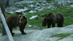 Bearcubs play fighting Stock Footage