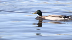Two Mallard Ducks Swimming and Racing in the River Stock Footage