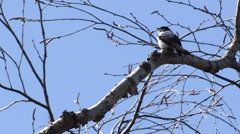 Tiny Tree Swallow Perched on a Branch Stock Footage
