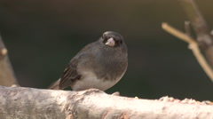 Curious Junco Songbird Eating Seeds Stock Footage