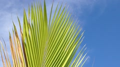 Close up coconut tree leaves or midrib with blue sky, copyspace, loop Stock Footage