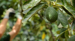 Avocado hass fruit hanging at tree in harvest in a plantation - stock footage