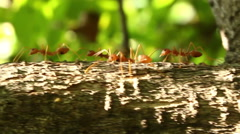 Ants are walking on a branch Stock Footage