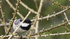 Coal tit feeding a a three Stock Footage