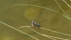 4K UHD blue dragonflies mating Stock Footage