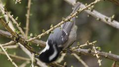 Coal tit feeding a a tree Stock Footage