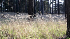 Reed grass steppe Stock Footage