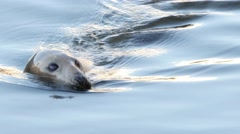 Seal swim and plunge in waters close up Stock Footage