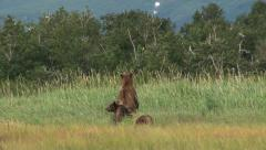 Grizzly Bear (Ursus arctos horribilis) mother with  two  cubs Stock Footage