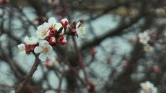 Apricot blossoms Stock Footage