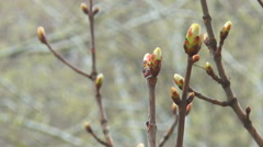 Spring buds in the rain Stock Footage