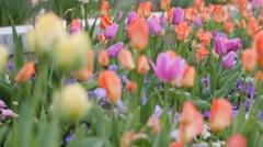 Tulip garden panning shot Stock Footage