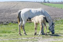 Foal suckling his mother grazing - stock photo