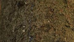 Drops of Sap on Pine Trunk Stock Footage