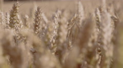 Dynamic pull focus shot through the tops of a wheat field. Stock Footage