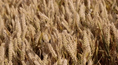 Hand held shot of a wheat field during the late afternoon. Stock Footage