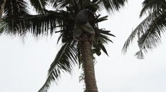 Island Worker Ascending a Palm Tree in PALAU Stock Footage