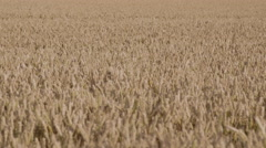 Beautiful shot of wheat in a field with focal changes throughout - stock footage