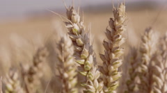 Beautiful extreme close-up shot of wheat with focal changes throughout - stock footage