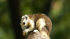 Squirrel eating nut on tree. Stock Footage