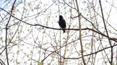 Black thrush among branches of trees in windy forest - stock footage