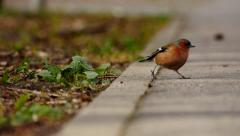 Finch jumping on asphalt road and grass - Fringilla coelebs Stock Footage