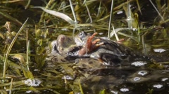 Stock Video Footage of Rana temporaria, frog, mountain frog, coupling,  pond, stream, creek,