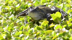 Frog  (Rana temporaria) is croaking on the surface of the pond Stock Footage